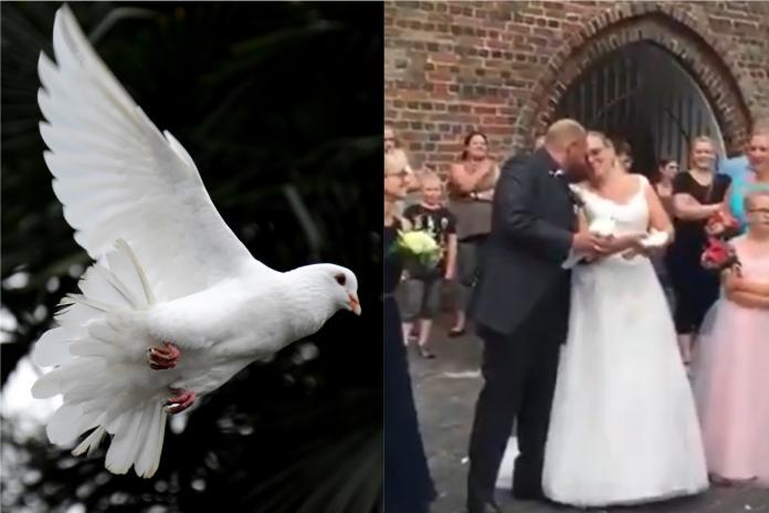 ▲英國一場婚禮中放飛白鴿的橋段,突發狀況讓在場所有人都嚇到了。(合成圖,左非當事鴿僅示意/翻攝 Unsplash 、 @Laurie__Jane 推特)