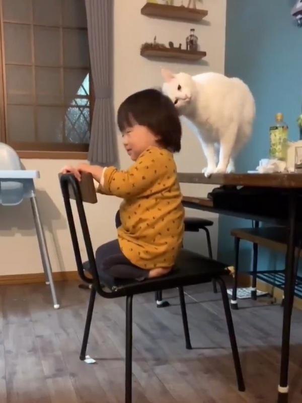 超暖白貓褓姆守護小鏟屎官 殷殷關切不讓爬上桌網友全融化!