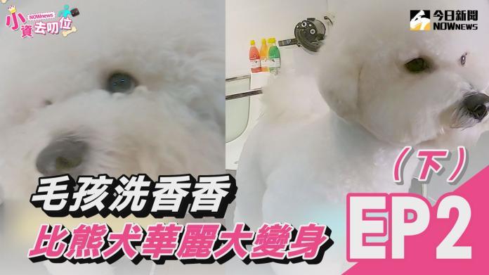 【小資去叨位EP2】毛孩洗香香 比熊犬華麗大變身(下)