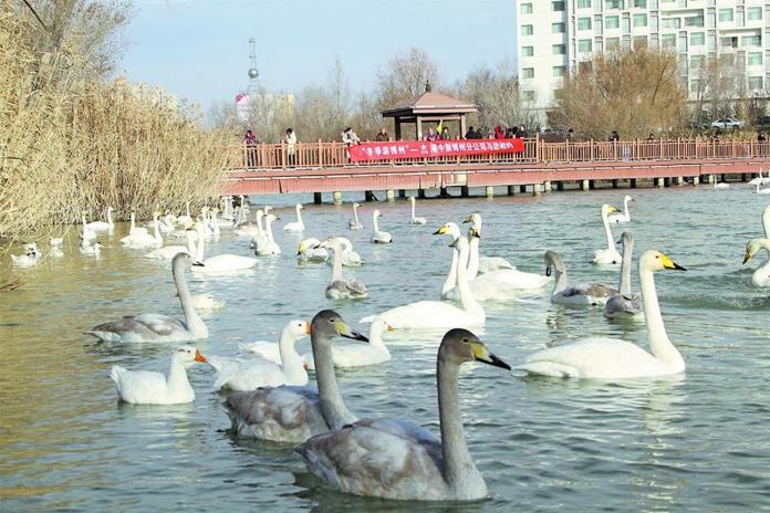 新疆驚傳H5N6亞型禽流感 陸農業部:染病天鵝已全數撲殺