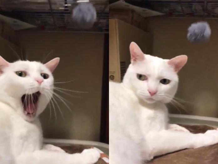 奴才買電動逗貓球娛樂主子 白貓皺眉:是在哈囉?
