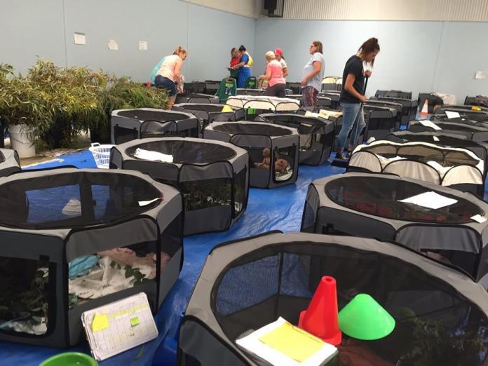 澳洲學校開放體育館 搭帳篷收容上百隻無家可歸的無尾熊