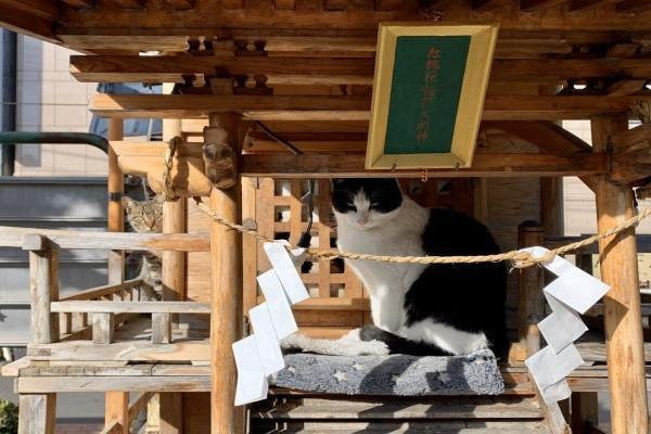 <br> 推主隔一周再去時,竟然換成賓士貓「輪值」,原來「貓神擔當」是只要有空位,誰都可以去當啊!(圖/twitter@m_kanagawa)