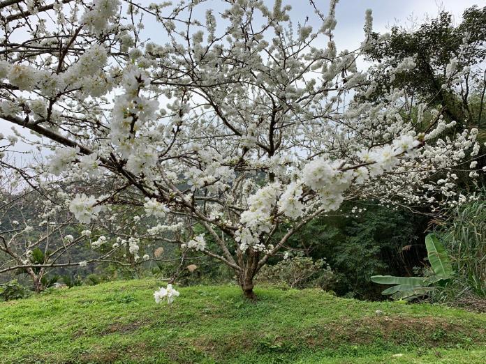 ▲綻放美麗純白的黃柑李花。(圖/記者陳惲朋攝)