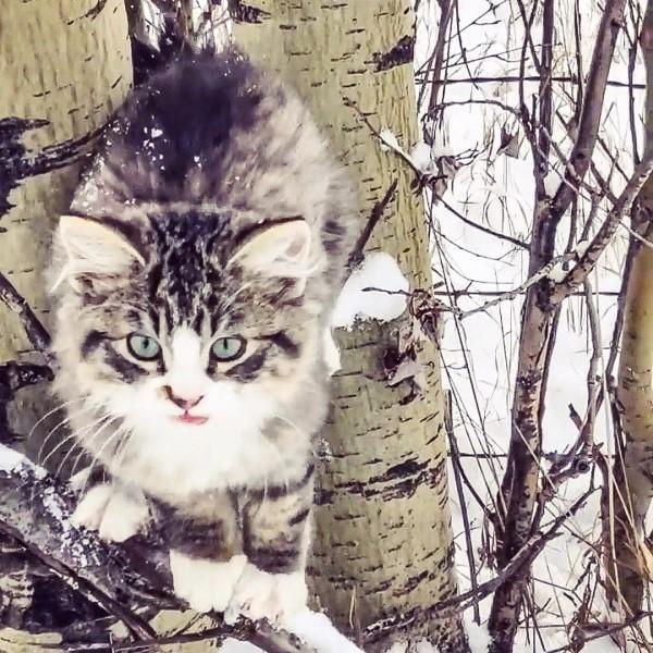 <br> 馬克思在雪地健行時遇見一隻小貓在樹上求救(圖/IG@catbobtail)