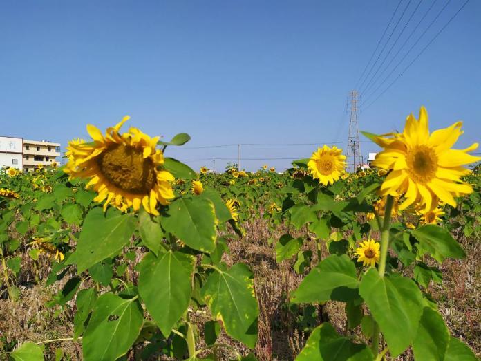 <br> ▲碩大的向日葵花朵在風中搖曳。(圖/記者葉靜美攝,2020.01.18)