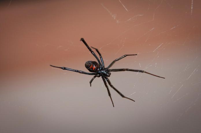 肖想成為蜘蛛人!3男童狂戳黑寡婦「下場」超慘:整個GG