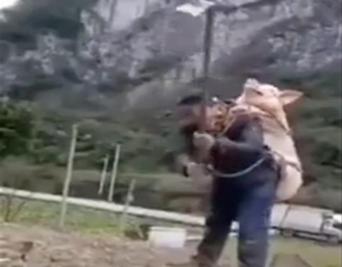 被豬瘟害慘!大陸<b>農民</b>揹豬種田影片爆紅:這最值錢別丟了