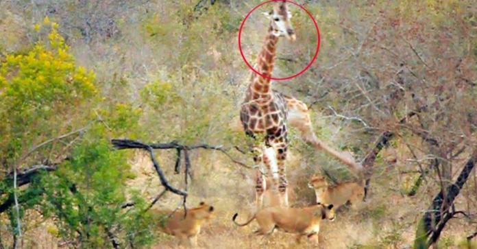 長頸鹿遭飢餓母獅圍攻!下秒「劇情神反轉」網笑瘋:可憐