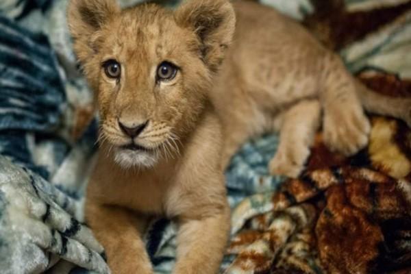 <br> 蘭伯特從小就被當成寵物飼養(圖/FB@In-Sync Exotics Wildlife Rescue and Educational Center)