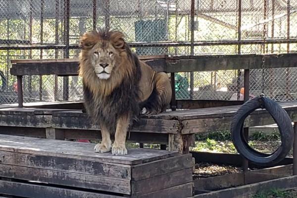<br> 即使已經長出鬃毛,變成一隻雄偉的獅子(圖/FB@In-Sync Exotics Wildlife Rescue and Educational Center)