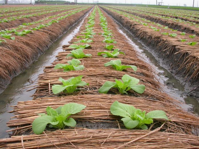 <b>冷氣團</b>報到 臺中場籲請農友儘速做好作物防寒措施