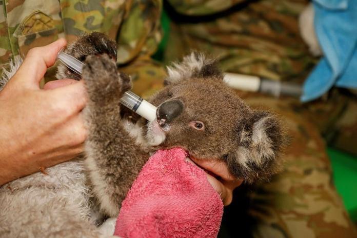 揪感心!澳洲軍人助救火 人手一隻無尾熊成超級奶爸奶媽