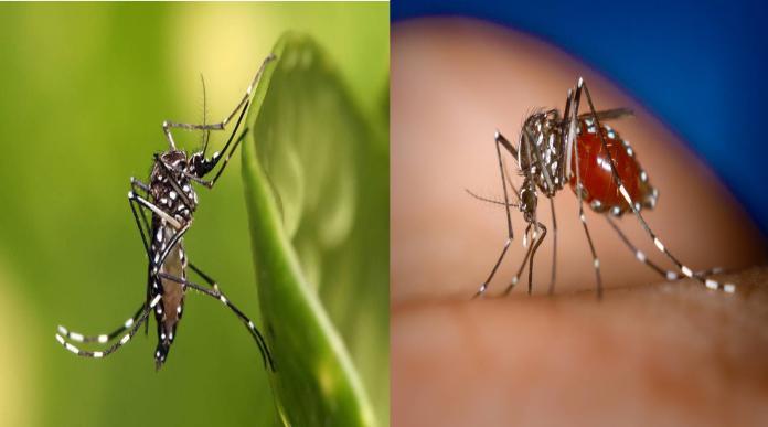 屈公病、登革熱及茲卡病毒感染症等,傳播的病媒蚊都是埃及斑蚊(左)及白線斑蚊