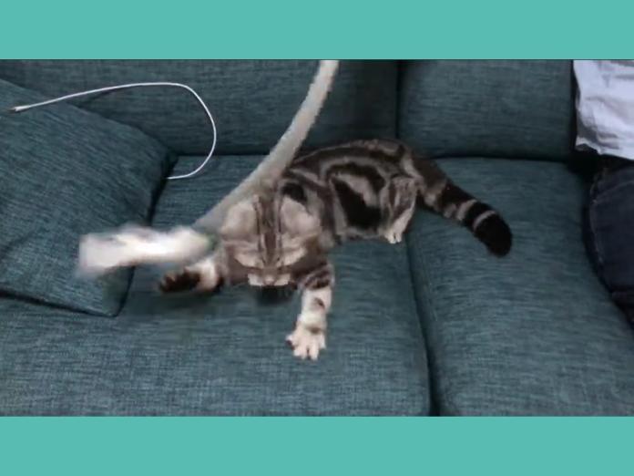 奴才揮棒 主子雙手啪啪啪沒一掌打中網笑:不擅長當貓!