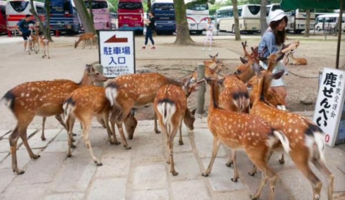 肺炎沒人要去日本!<b>奈良</b>鹿餓到衝撞旅客 台人反揭真相