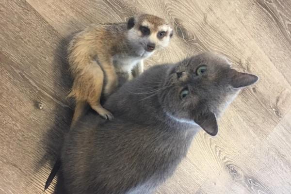 <br> 4年前主人葉卡捷琳娜收編狐獴蘇利亞,從牠第一眼見到奈斯以後,每天都黏在貓哥哥身邊公然放閃,貓咪奈斯也覺得狐獴小弟很有趣,便直接收牠當小跟班(圖/IG@meerkat_suren)