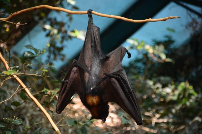 ▲蝙蝠。(示意圖/翻攝自 Pixabay )
