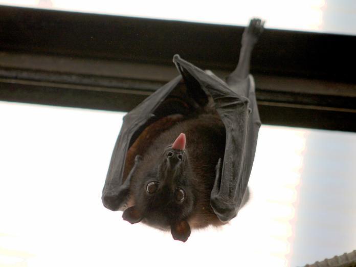 武漢肺炎/蝙蝠好可怕?專家:近五年 台灣蝙蝠不具人畜共通病毒
