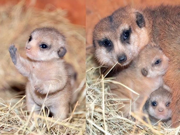邁阿密動物園迎接兩隻<b>狐獴寶寶</b> 母子一起亮相超可愛!