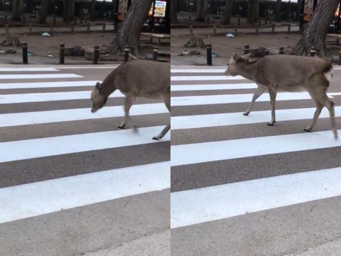 奈良鹿過馬路小心停看聽 見車禮讓還鞠躬網驚:超有禮貌!