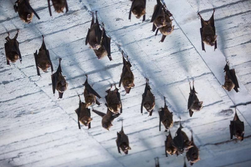 ▲新北市動保處提醒,台灣島上的蝙蝠有些物種確實帶有病毒,卻不至於影響人,除非研究人員捕捉時被咬,至今並未發生過蝙蝠主動攻擊人的案例。(圖/新北市動保處提供)