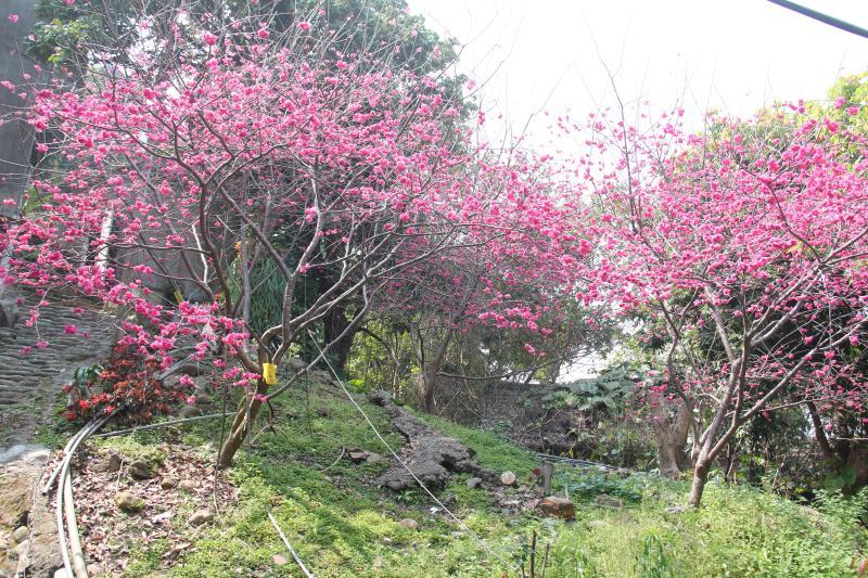 <br> ▲前湖水里長吳信夫20年多年前陸續在自宅後山種植山櫻花、八重櫻和吉野櫻。(圖/記者陳雅芳攝,2020.02.26)