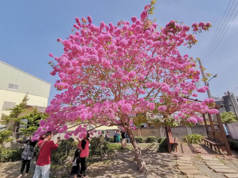 <br> ▲成千上萬朵粉紅色花苞布滿樹冠,吸引拍照者駐足拍照打卡。(圖/記者陳雅芳攝,2020.02.28)