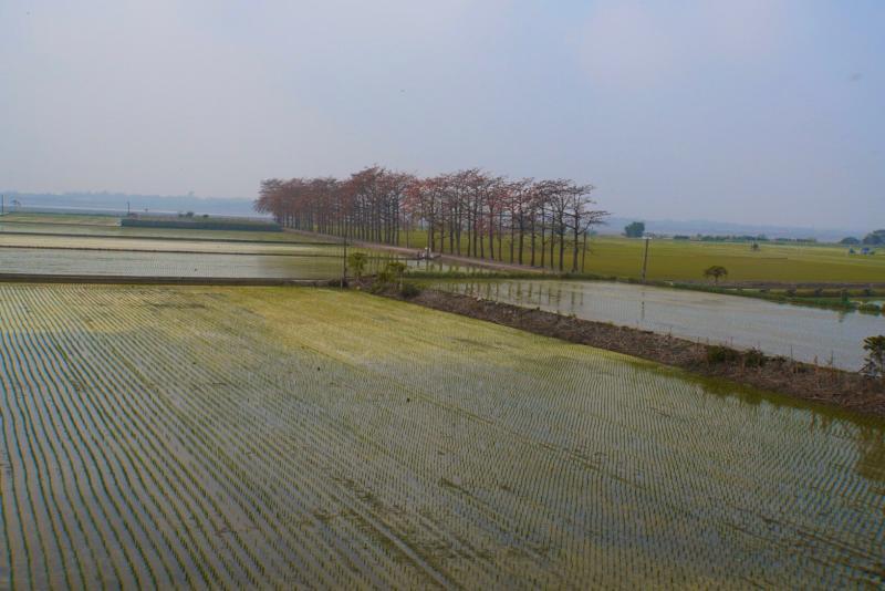 <br> ▲紅花與綠稻的相互輝映讓竹塘木棉花道更顯獨特。(圖/記者陳雅芳攝,2020.02.28)