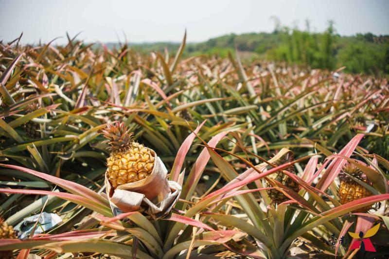 中國禁止輸入台灣鳳梨 規模占9成、年產值近15億