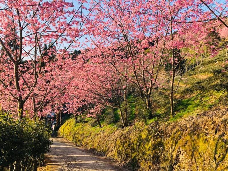 山上人家園方於2月22日公布櫻花季正式開跑。(圖翻攝自山上人家森林農場臉書)