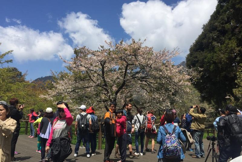 搭公共運輸賞阿里山櫻花 門票優惠又可直接入園區