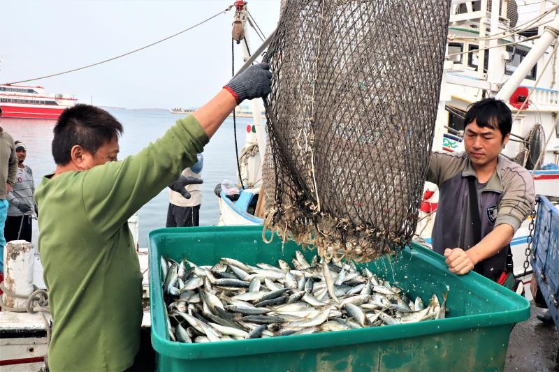 疫情退散!澎湖養殖魚狂吃新鮮「現流」日本竹筴魚
