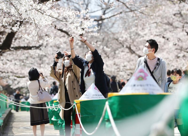 ▲日本東京櫻花盛開。(圖/美聯社/達志影像)