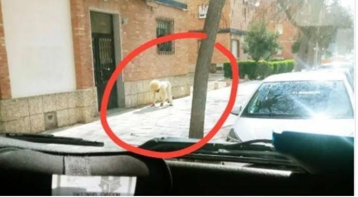 <br> ▲一位網友在推特上發出一張圖片,並附上註解「在托利多附近,有一隻奇怪的狗行走」。(圖/翻攝推特)