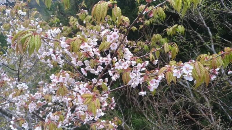 目前正是太平山國家森林遊樂區太平山白櫻花盛開之際,到太平山旅遊,可以欣賞獨特的太平山白櫻花