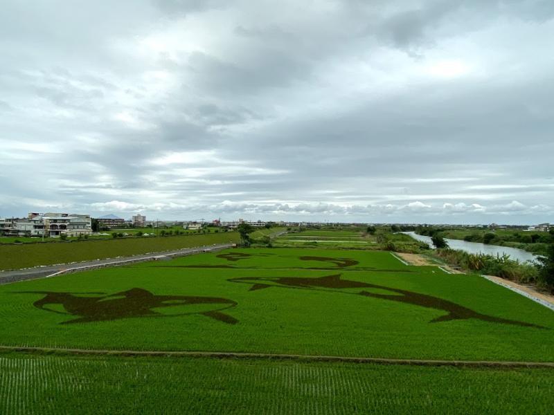壯圍鄉公所以「虎鯨」圖案彩繪稻田