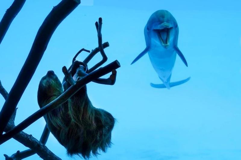 開放淡定樹懶在水族館四處睡 好奇海豚「嗨翻」打招呼:你素隨? 動物奇觀 寵鮮聞