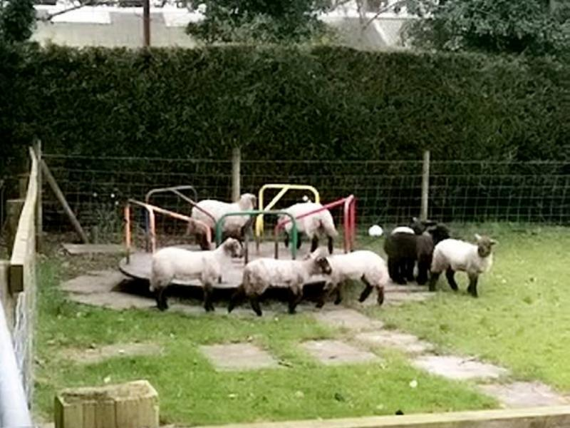 無視社交距離!小羊集體攻佔兒童園區 狂玩「轉圈圈」嗨翻