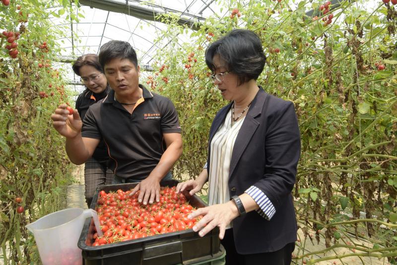 <br> ▲「景發溫室農場」有別於一般溫室,在栽培管理上結合農業科技方式進行控管,溫室自動化農場栽培無毒番茄。(圖/記者陳雅芳攝,2020.04.09)