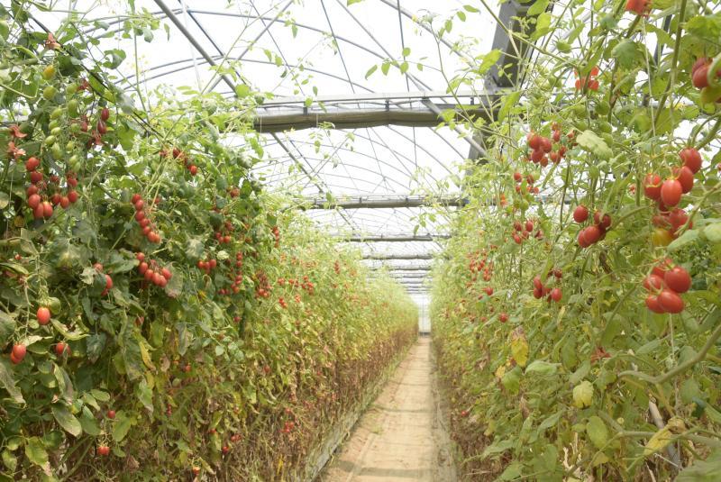 <br> ▲青農柯景發番茄栽種採量化管理,給水和肥料都做精確控制,所以全期不用藥可以撐到現在還是結果纍纍。(圖/記者陳雅芳攝,2020.04.09)