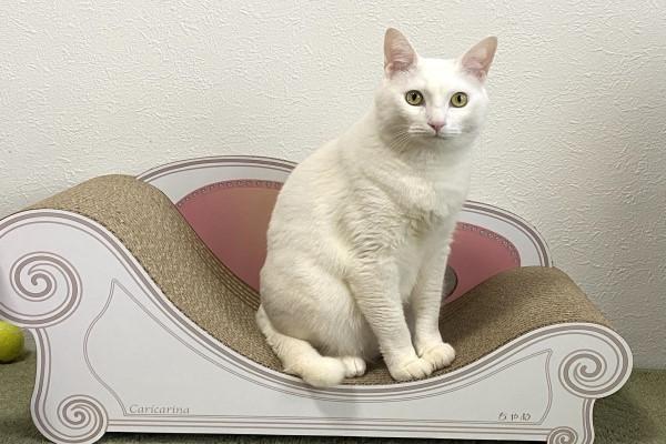 <br> 日本一位推主的爸媽家裡養了一隻漂亮的白貓,是他們的心頭寶貝(圖/twitter@bon_the_fool)