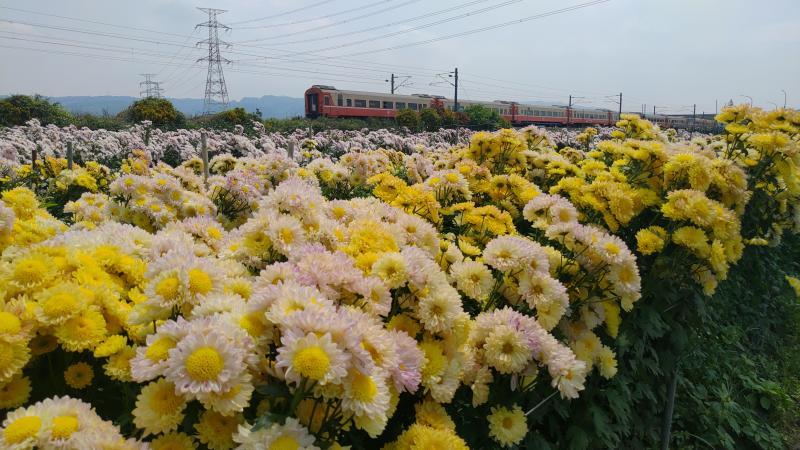 鐵道賞花祕境 橘黃色、粉色的杭菊隨風搖曳