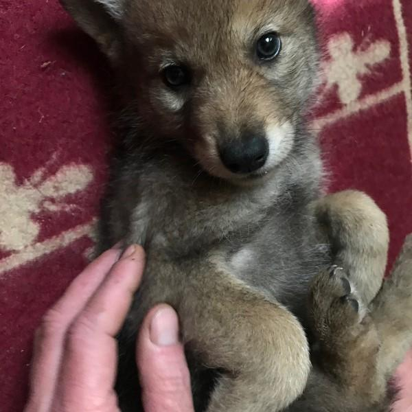 <br> 農夫伊凡在3年前發現一隻奄奄一息的小狼寶寶,擔心牠無法生存於是將牠帶回家照顧(圖/IG@real_gray_wolf)
