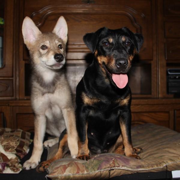 <br> 恢復健康的小狼被命名「賽里」,還跟家中狗狗成為好朋友(圖/IG@real_gray_wolf)