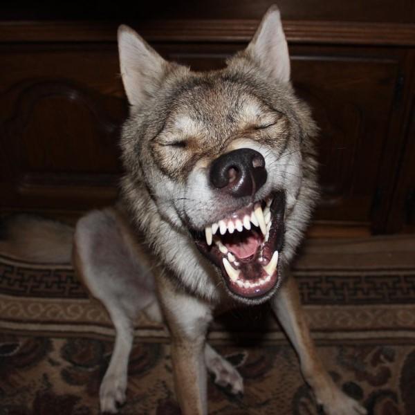 <br> 被網友笑說:「這是哈士奇不是狼吧!」(圖/IG@real_gray_wolf)