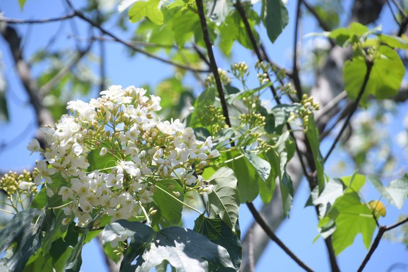 <br> ▲八卦山的桐花綻放,朵朵嬌柔白皙的油桐花盛開,為層疊的翠綠山頭點上雪白意境。(圖/記者陳雅芳攝,2020.04.13)