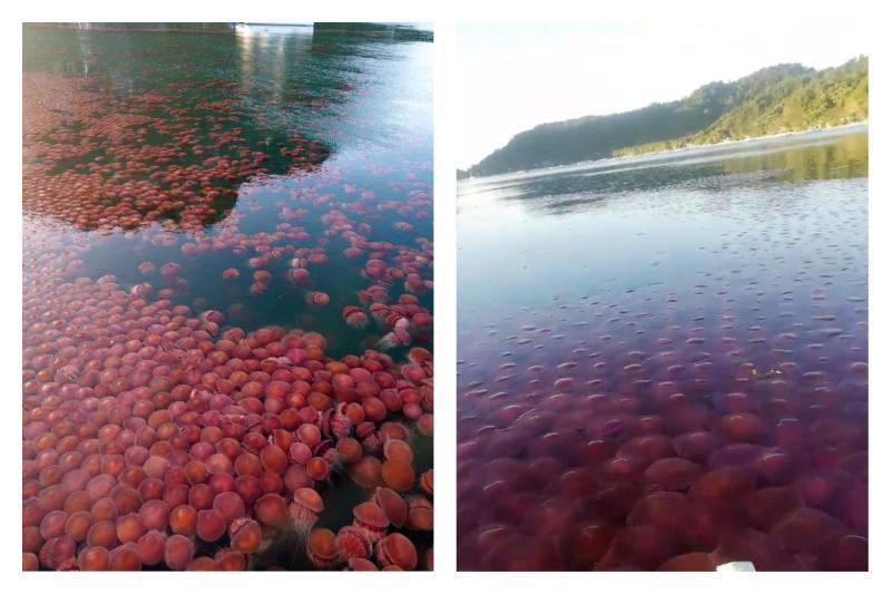 ▲菲律賓封邊境「一片粉紅浮海面」, 3.2 萬人讚爆。(圖/翻攝自推特)