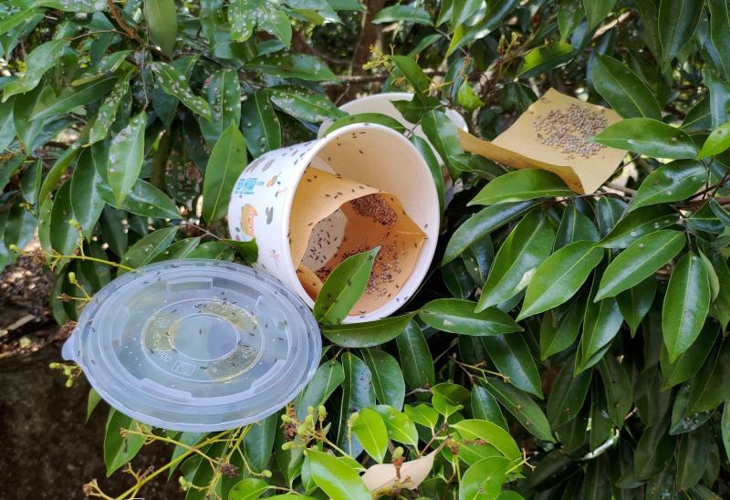 用天敵殺害蟲 中市出動平腹小蜂掃蕩荔枝椿象