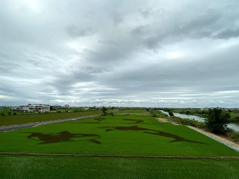 壯圍鄉公所連續四年在中央橋下稻田以不同顏色秧苗進行彩繪,今年以虎鯨為圖案